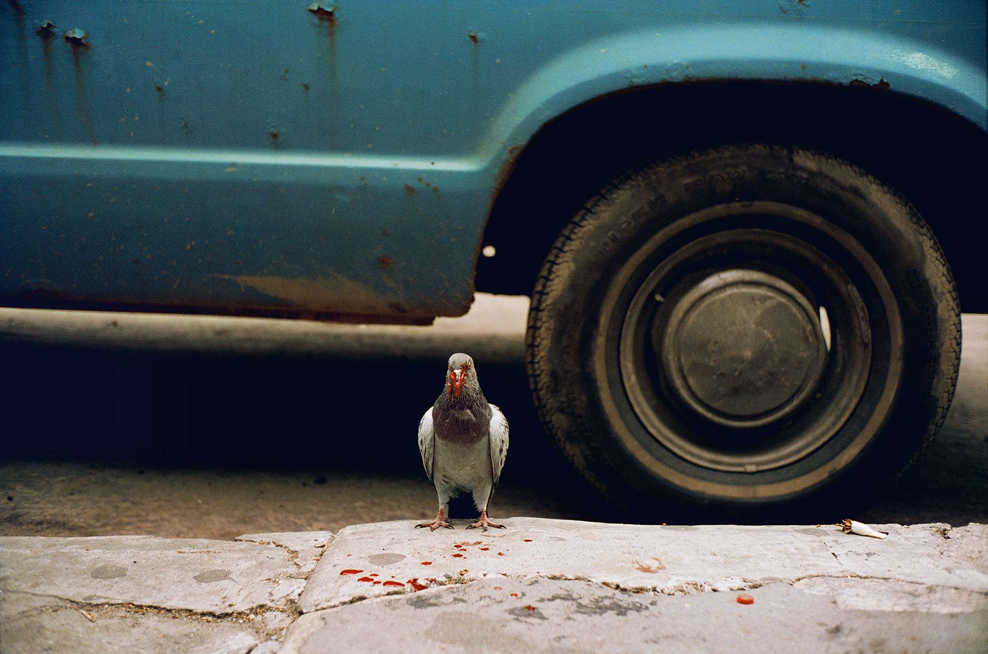 A bloody pigeon stands on the sidewalk in front of a blue car