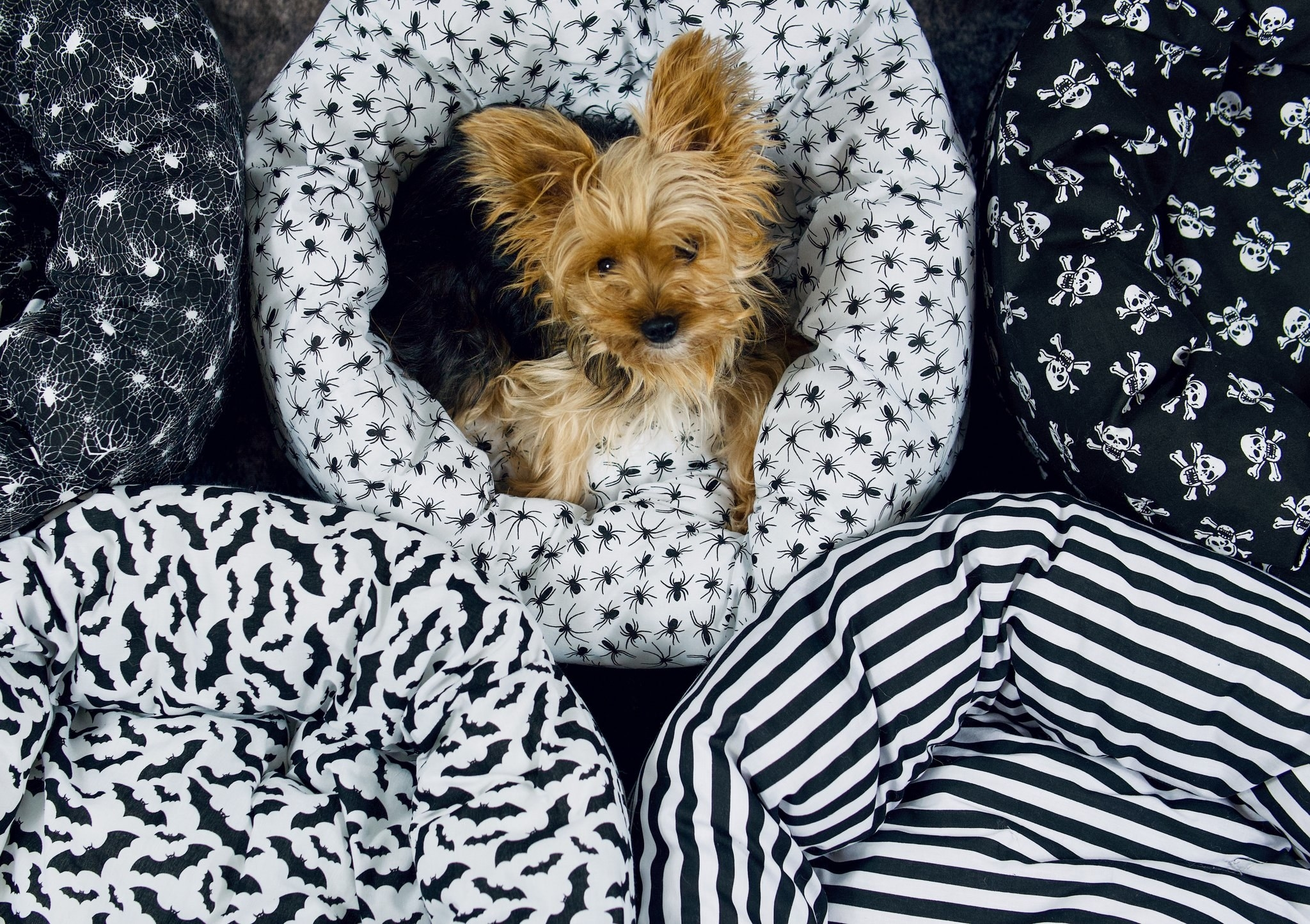 a small pup in a handmade donut dog bed covered in a spider print