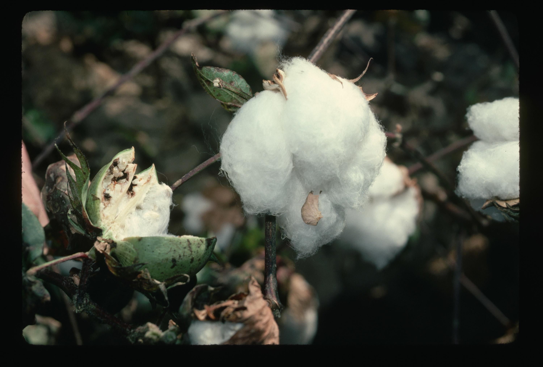 Closeup of a cotton plant