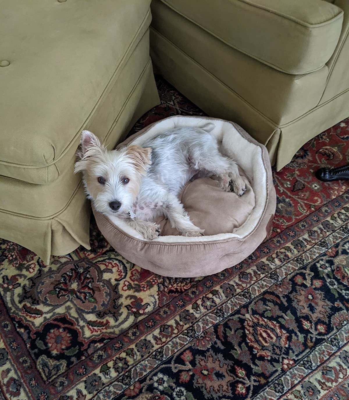 reviewer image of a small dog cuddled up in the camel colored Bedsure small bed