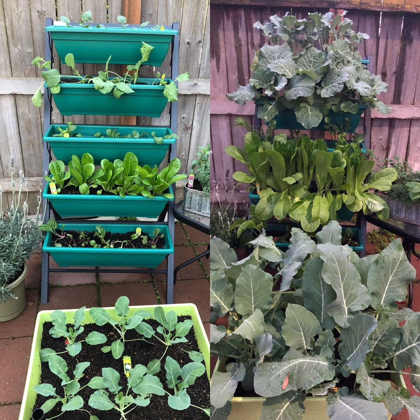 A progress photo of a ladder planter with vegetables growing out of each tier