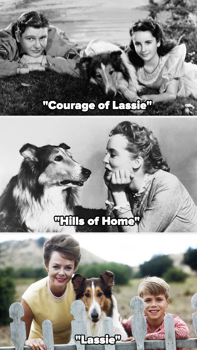 """Rough Collie pictured in """"Courage of Lassie,"""" """"Hills of Home,"""" and """"Lassie"""""""