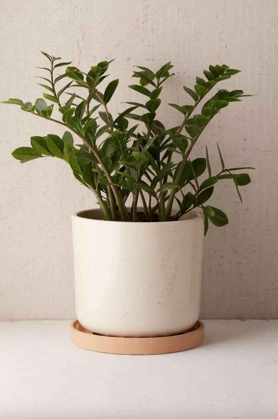"""the ceramic 10"""" planter with drainage holding a ZZ plant"""
