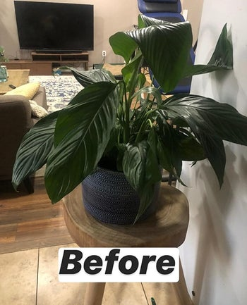 a reviewer photo of a droopy plant and text reading