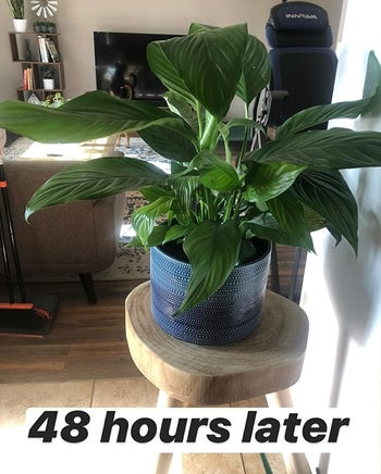 a reviewer photo of the plant looking perkier and text reading