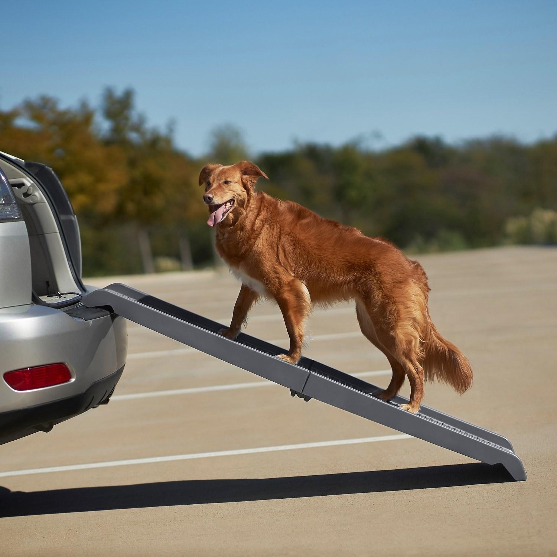 A large dog climbing the ramp into a car trunk