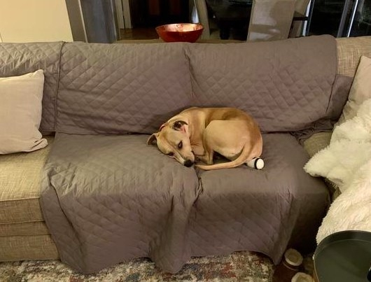 A reviewer's dog curled up on the furniture protector on the couch