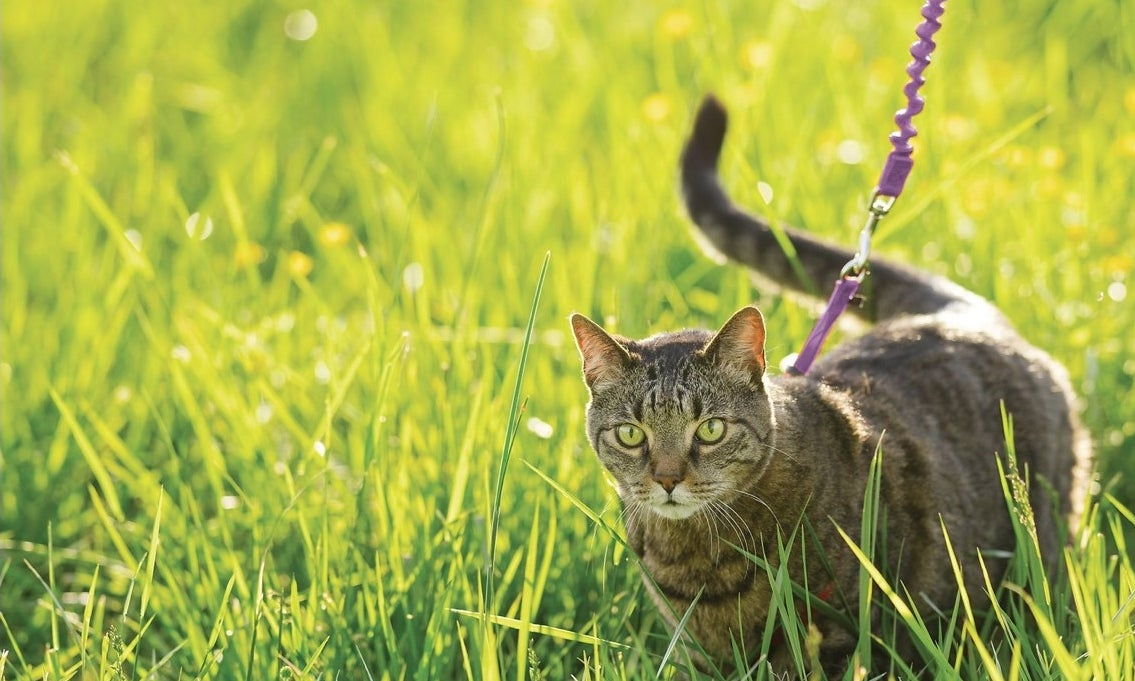 A brown cat on a purple leash