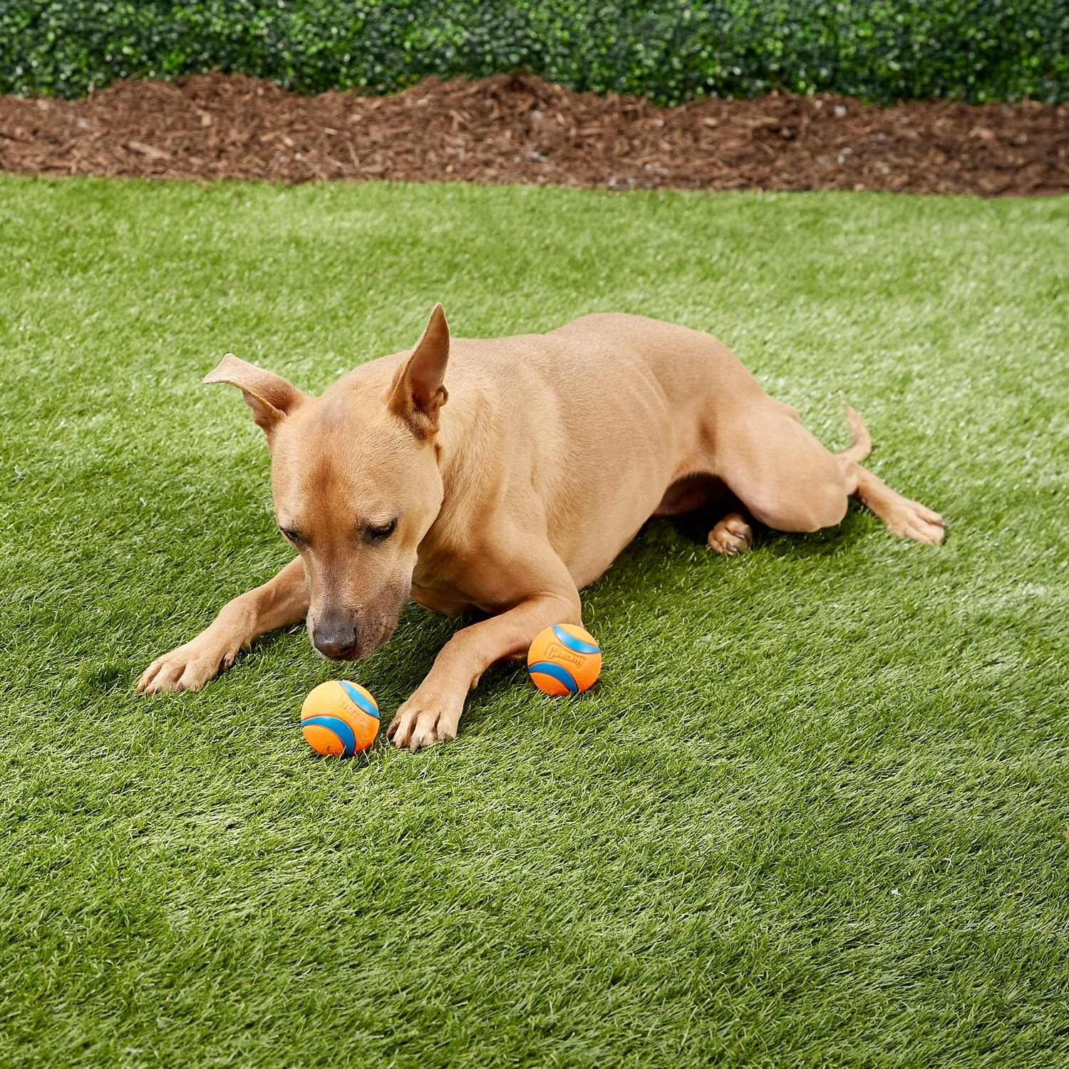 a dog playing with the two balls
