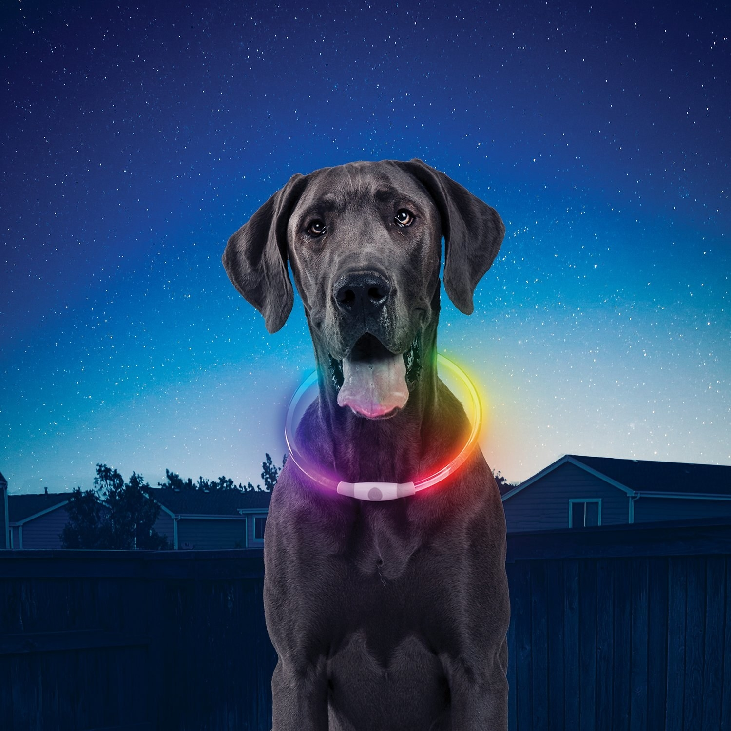 dog wearing the colorful LED collar