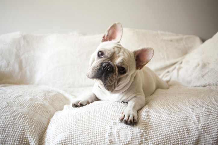 French bulldog sitting on a couch