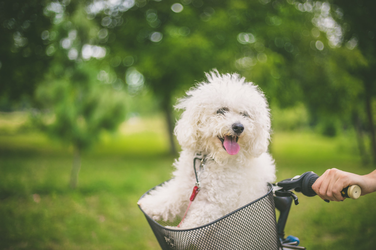 A bichon frise sitting in the basket of a bicycle