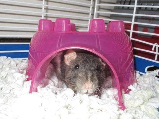 a rat inside a pink igloo