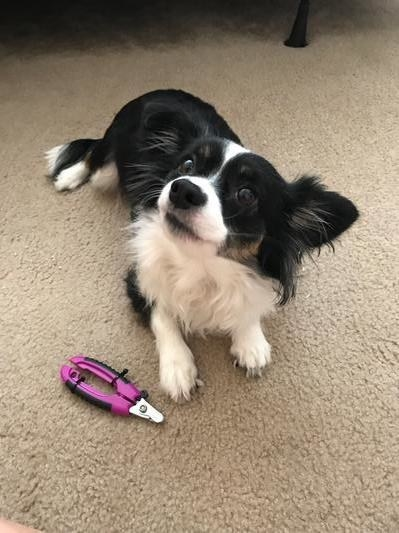 a dog sitting next to the nail clippers