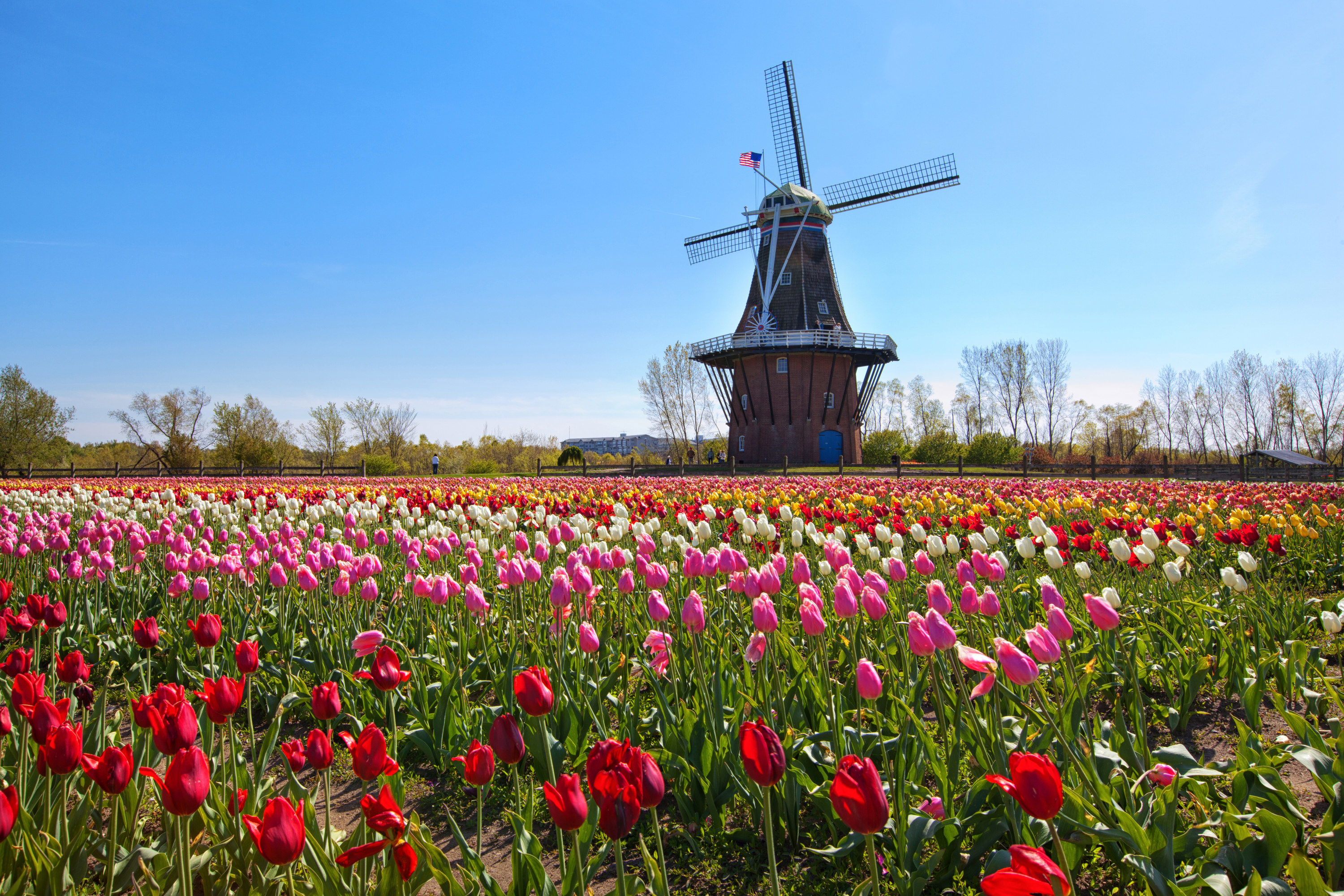 A windmill overlooking a field of tulips