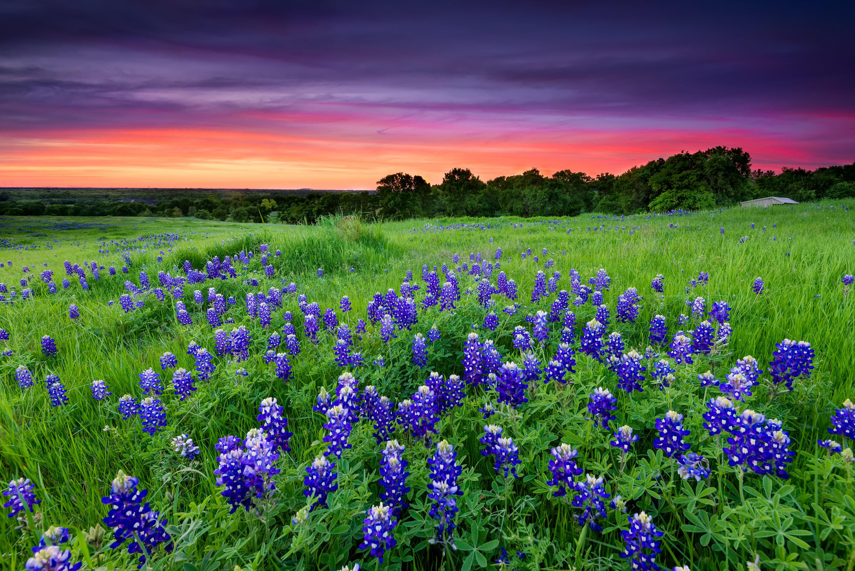 Beautiful bluebonnet flowers against a red sky in Ennis