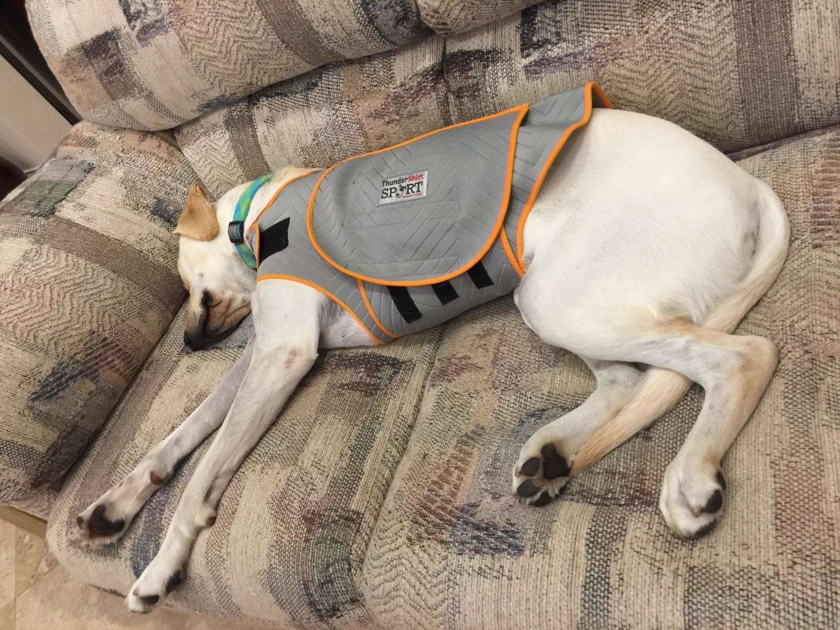 Reviewer photo of a yellow lab in an anxiety jacket laying on a couch