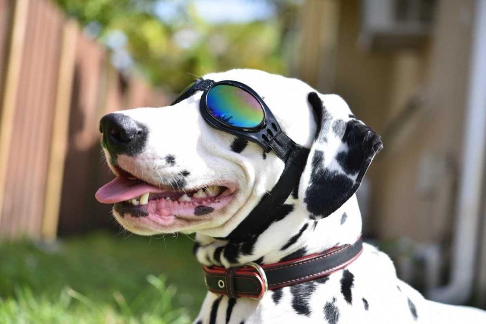 A Dalmatian wearing black dog goggles in a backyard