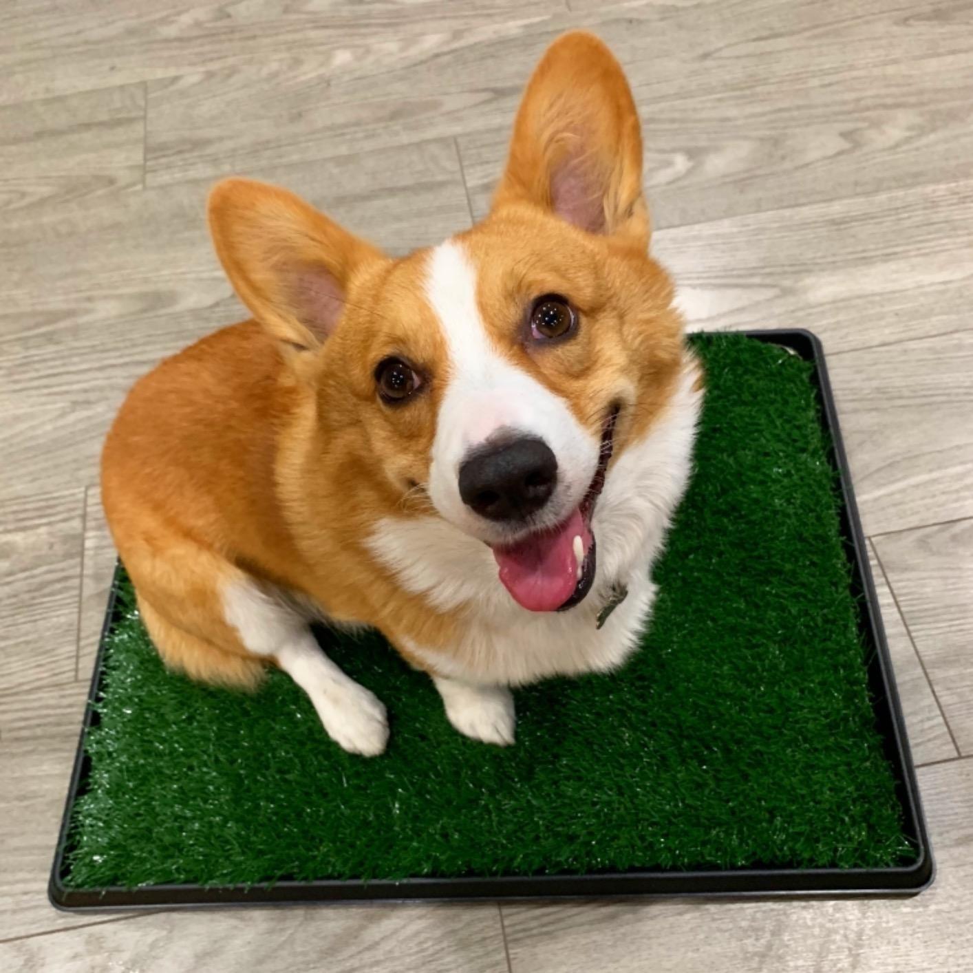 Reviewer photo of a corgi sitting on the grass mat