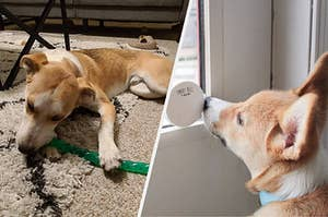 to the left: a dog hewing on a toy, to the right: a dog touching a smart bell with its nose