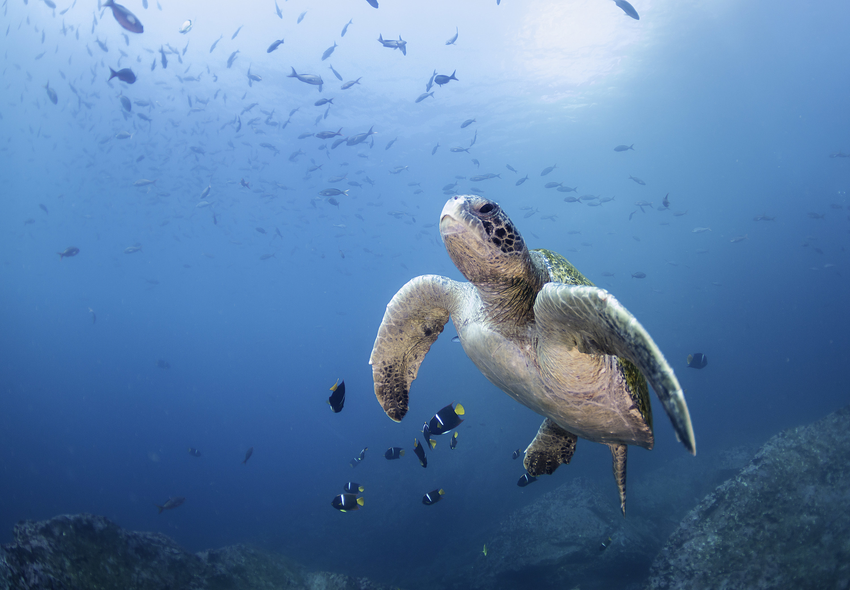 Galápagos sea turtles
