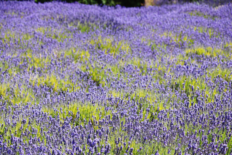 A lavender field in Sequim