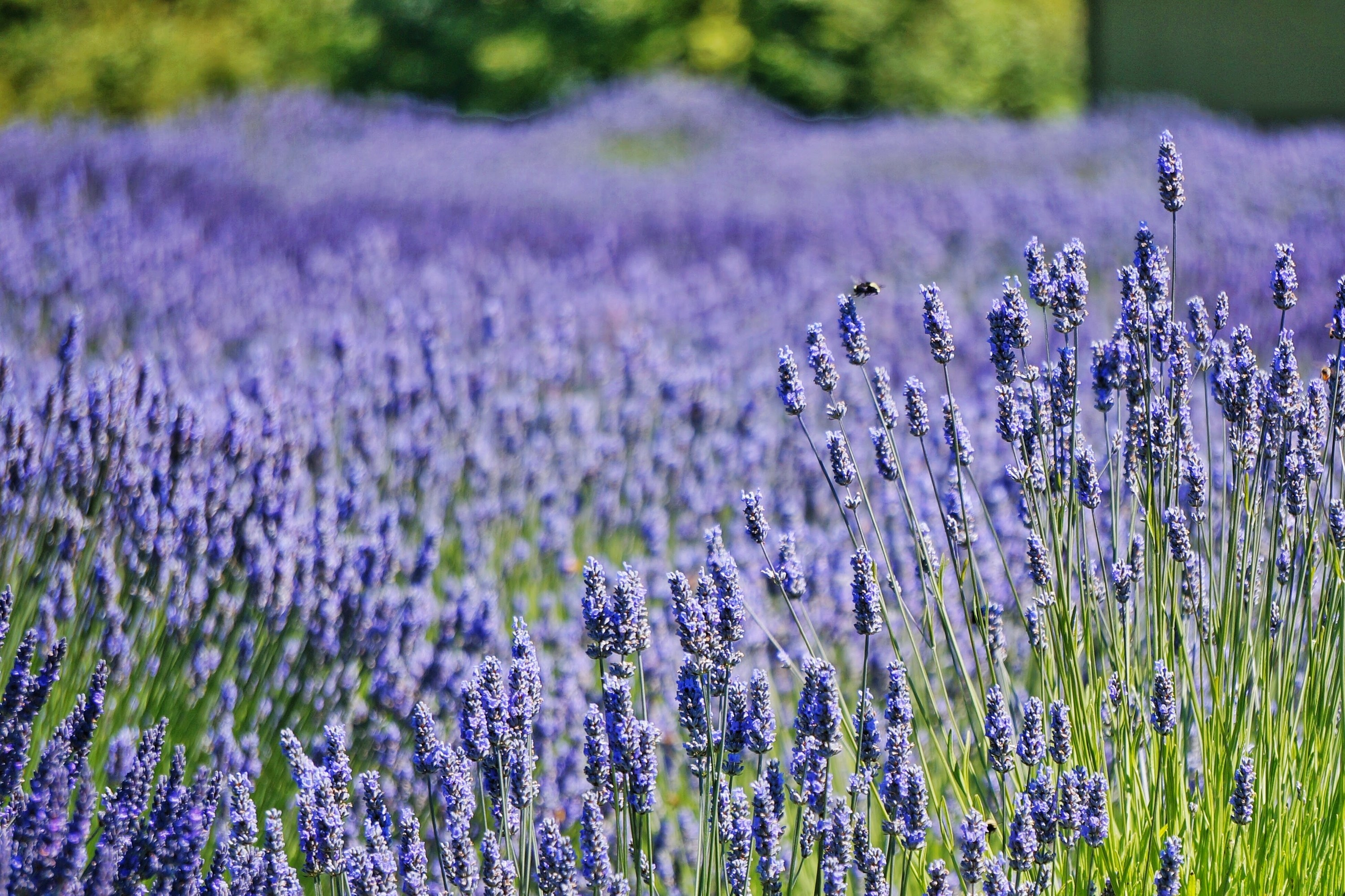 A lavender field in Friday Harbor