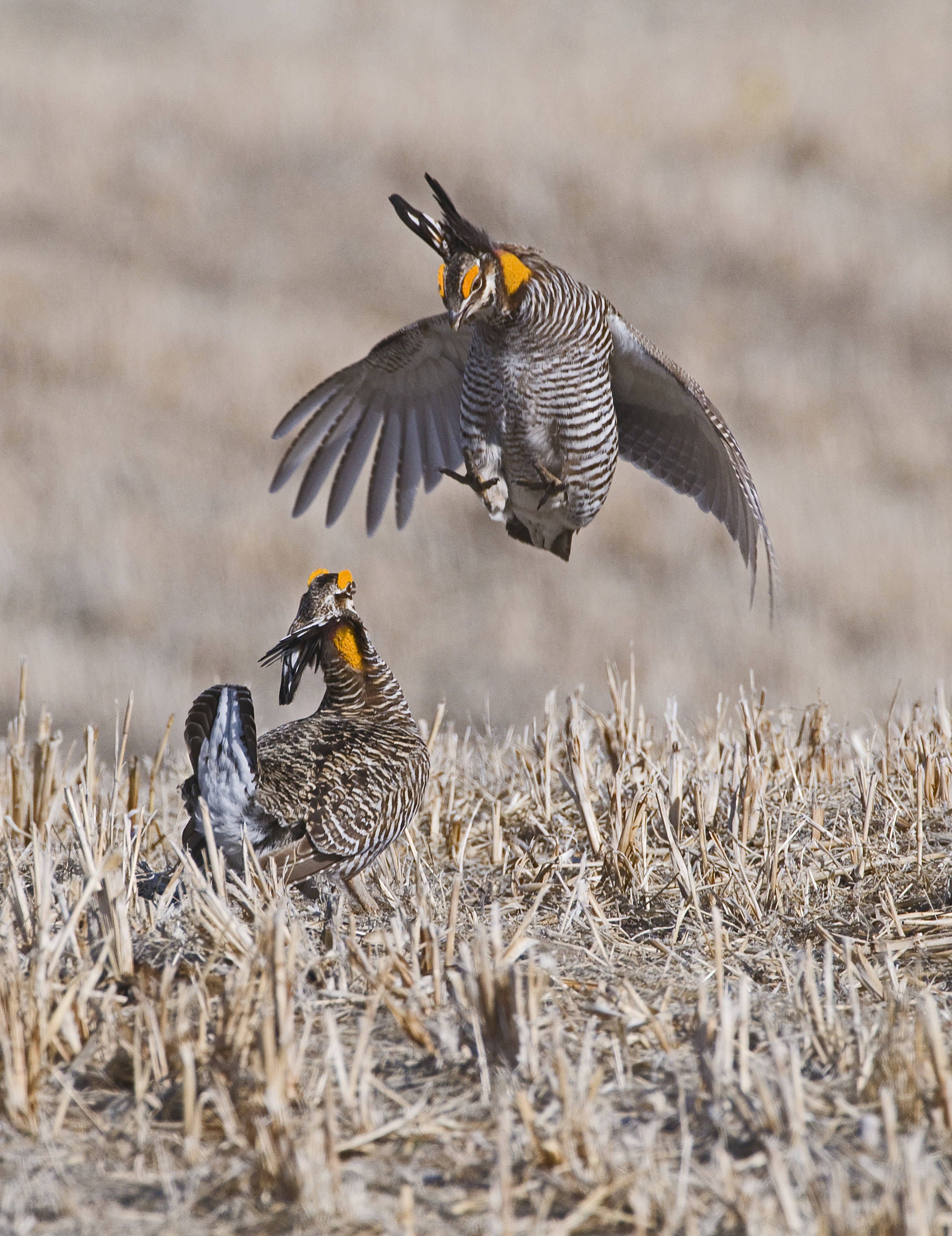 Prairie Chickens doing their mating dance