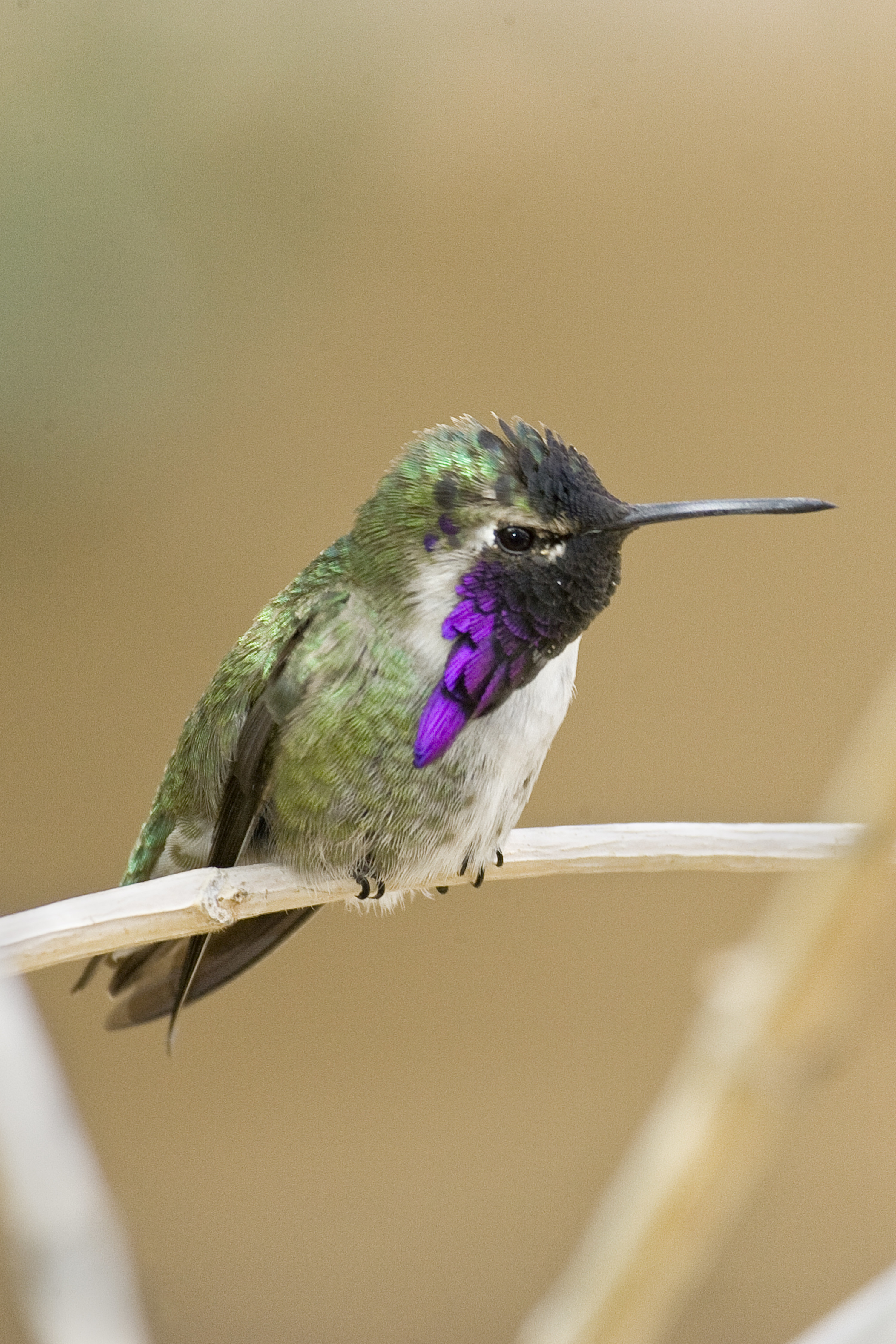 Lucifer hummingbirds