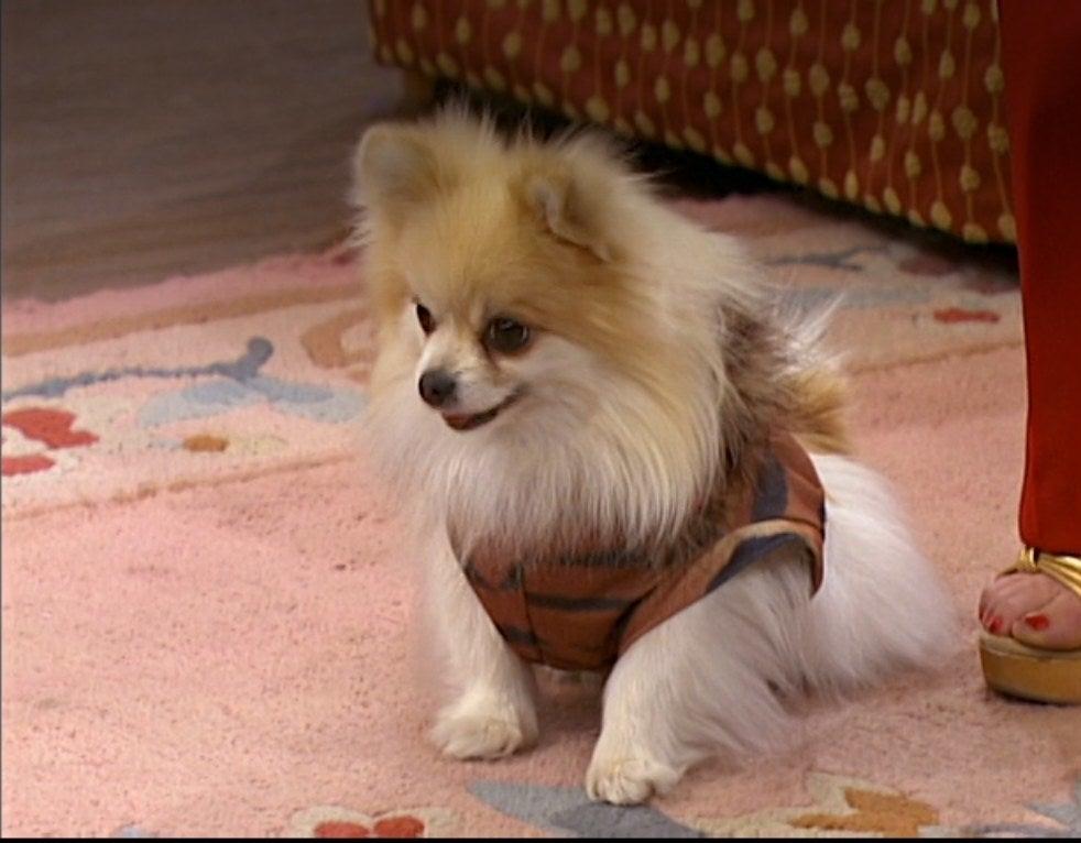 A puffy dog wearing a harness