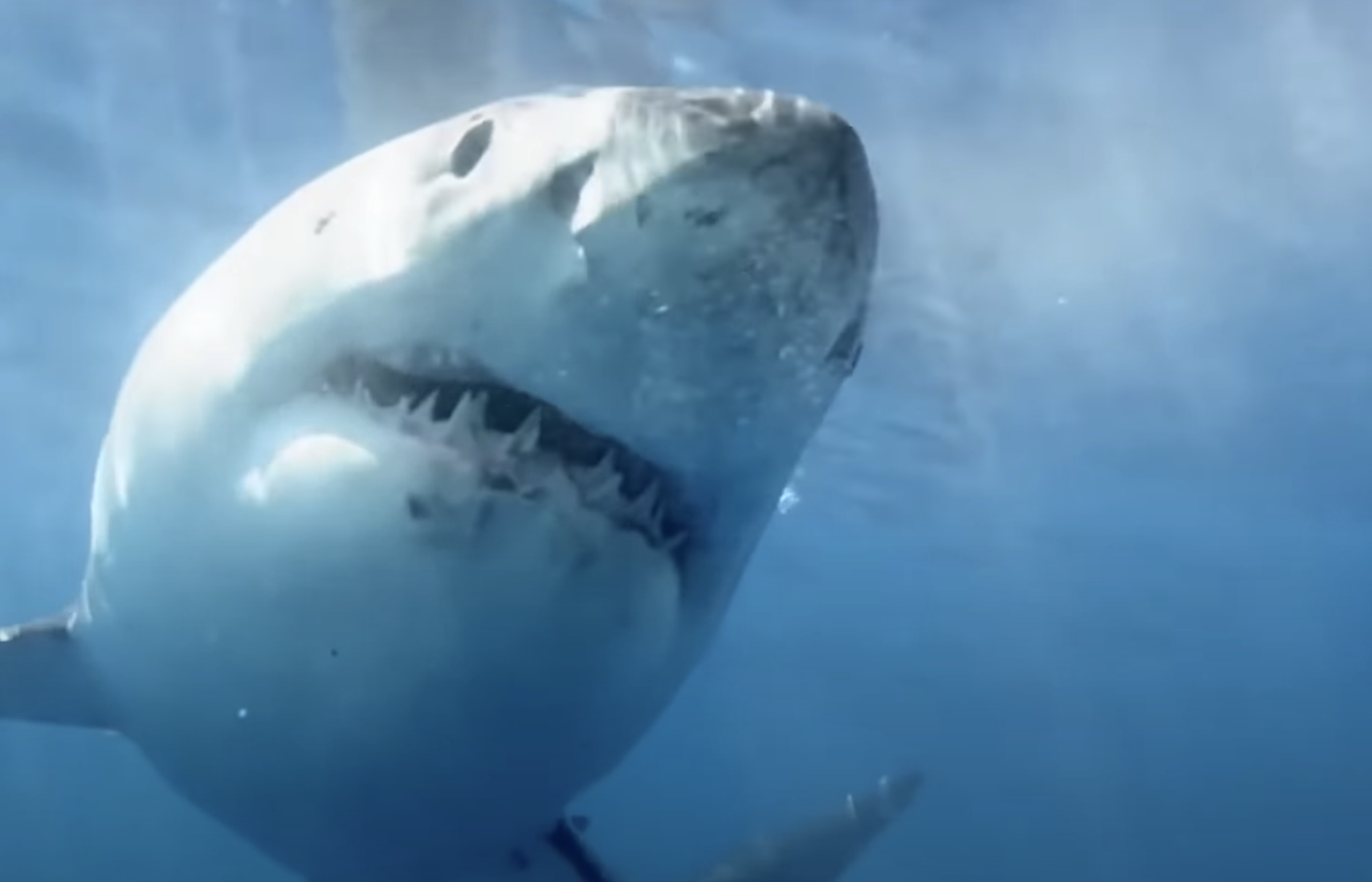 A scary looking great white shark