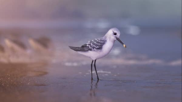 A sandpiper in the shallows