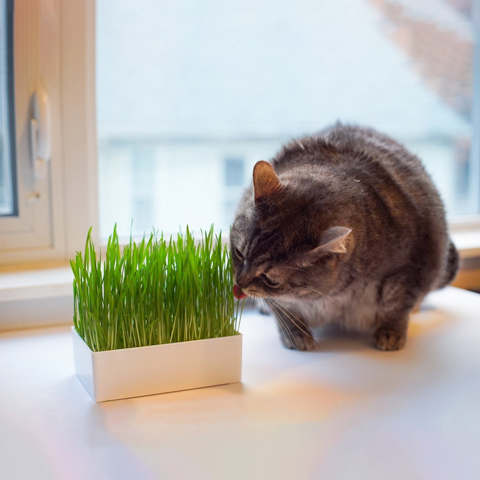 A cat is licking cat grass from a white planter