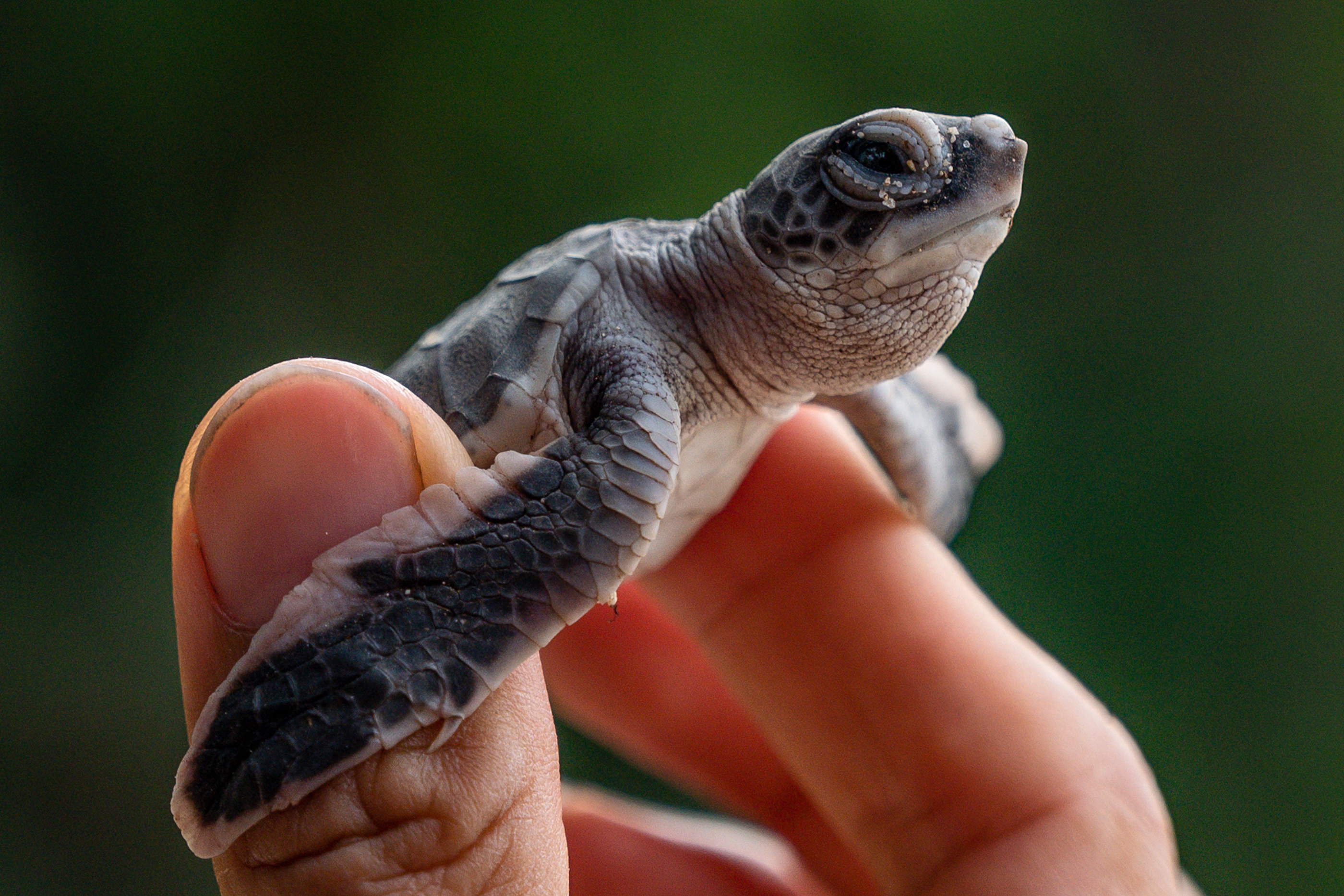 Photo of a baby turtle