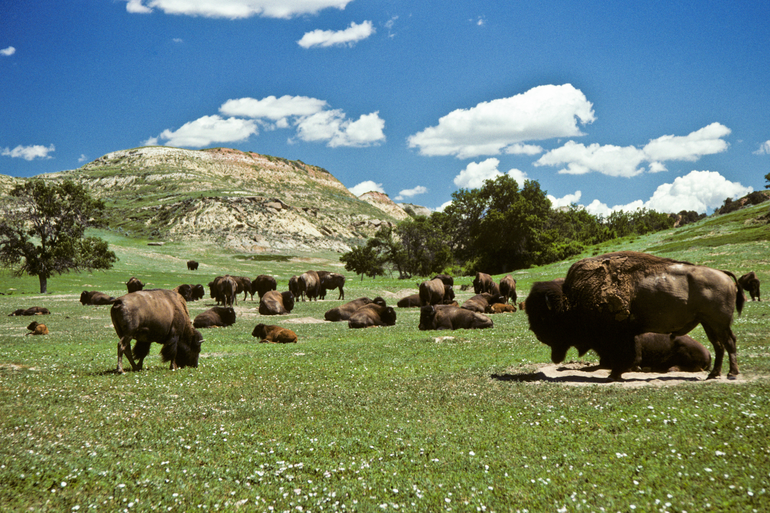 Various bison graze on a flat grassy area. Perfectly spaced white clouds dot a clear afternoon sky.