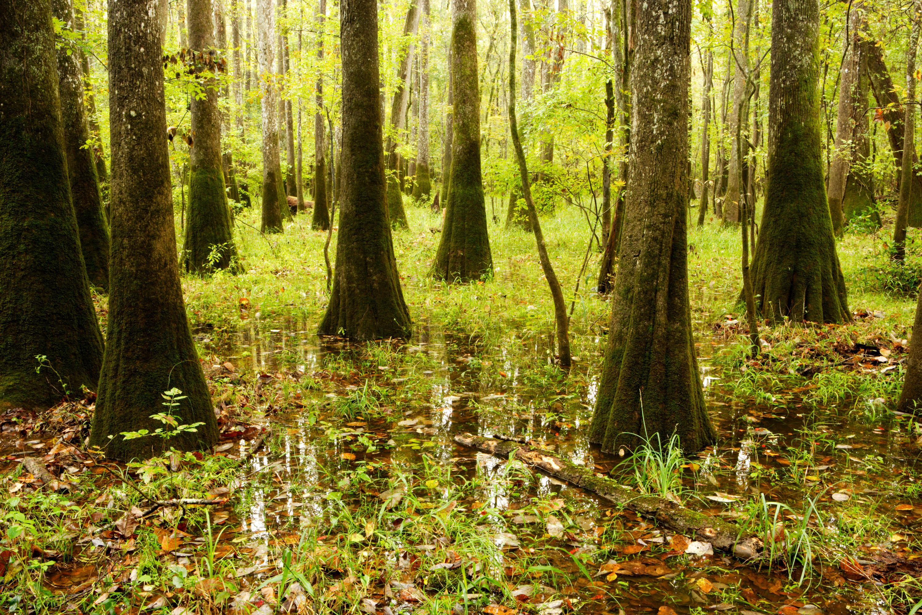 A swampy and lush forest of hardwood trees in Congaree national park.