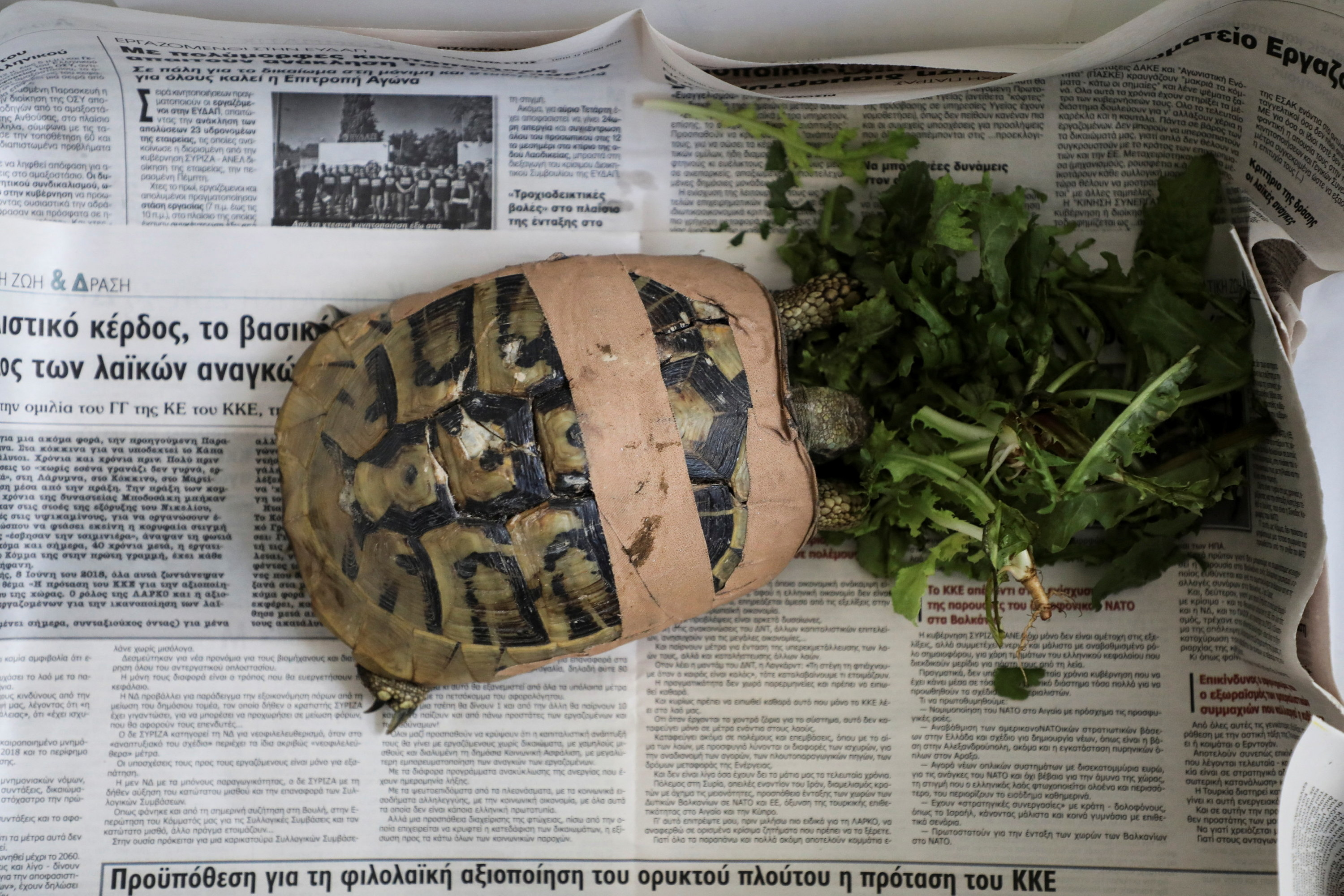 An injured turtle, with their shell wrapped in gauze, eats leafy greens and stands on a newspaper