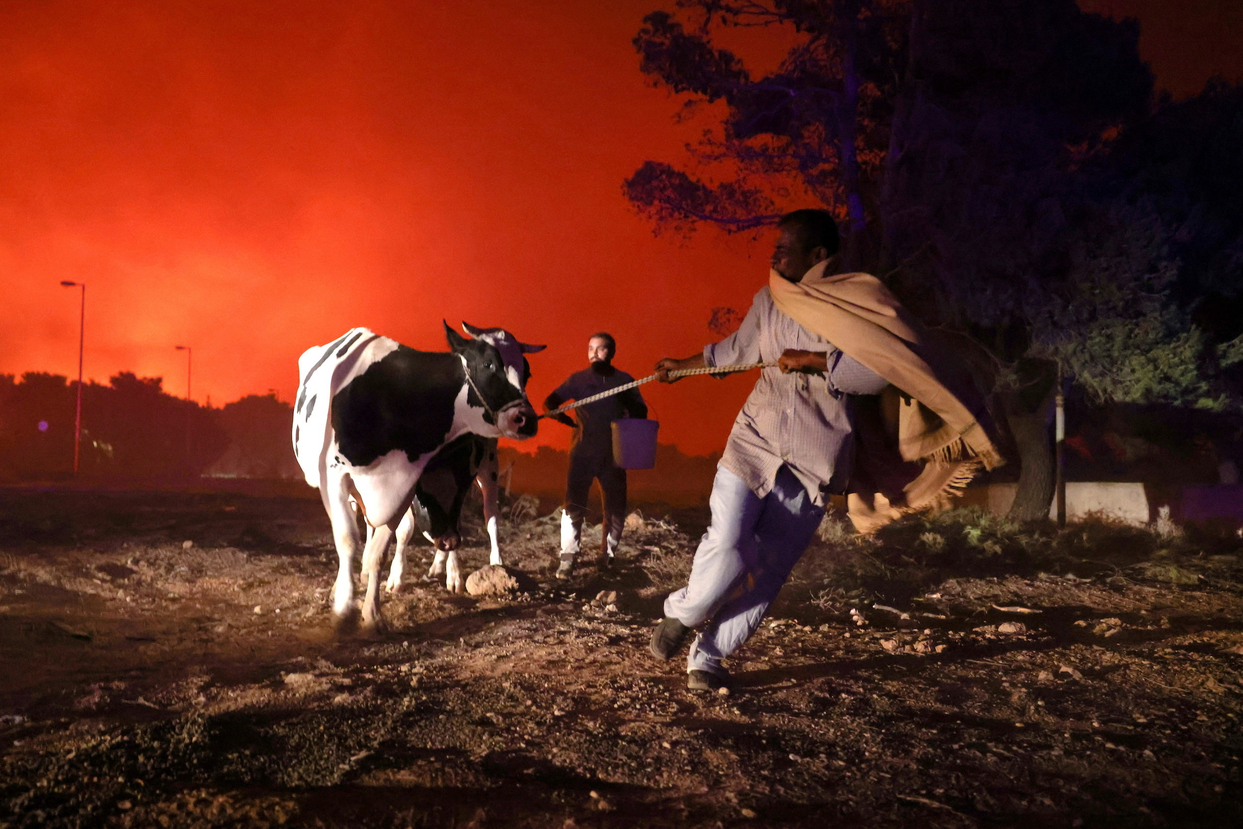 A man pulls his cow as they attempt to escape the wildfires in the background