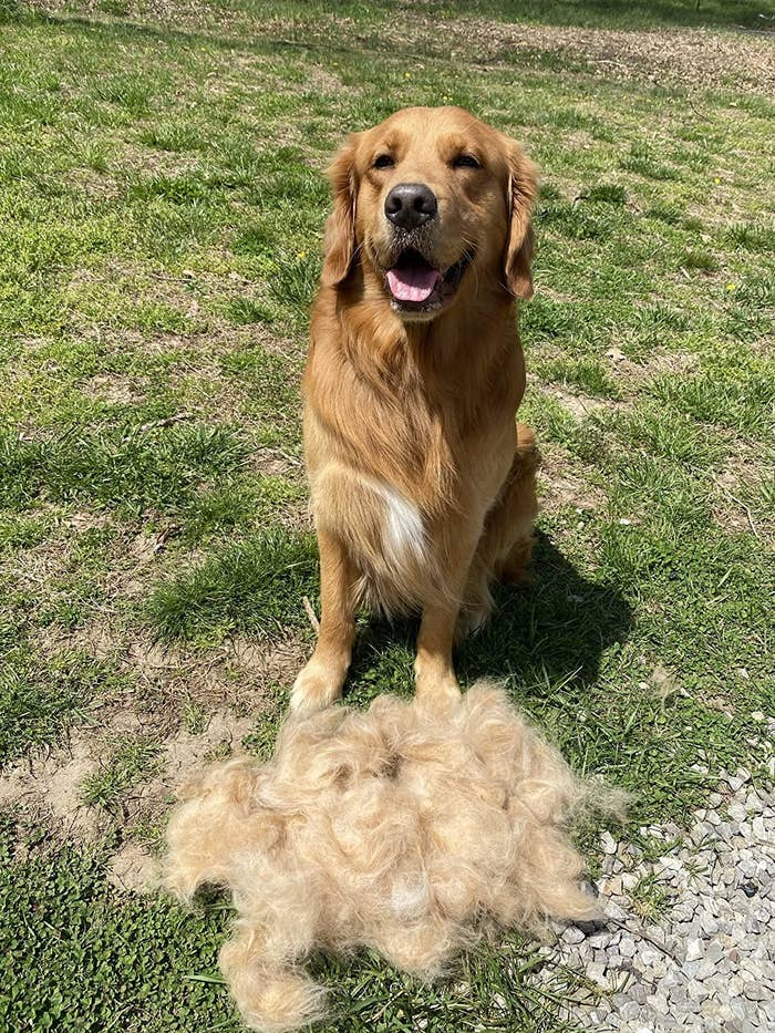 Reviewer photo of a golden retriever sitting next to a big pile of fur that was removed with the rake