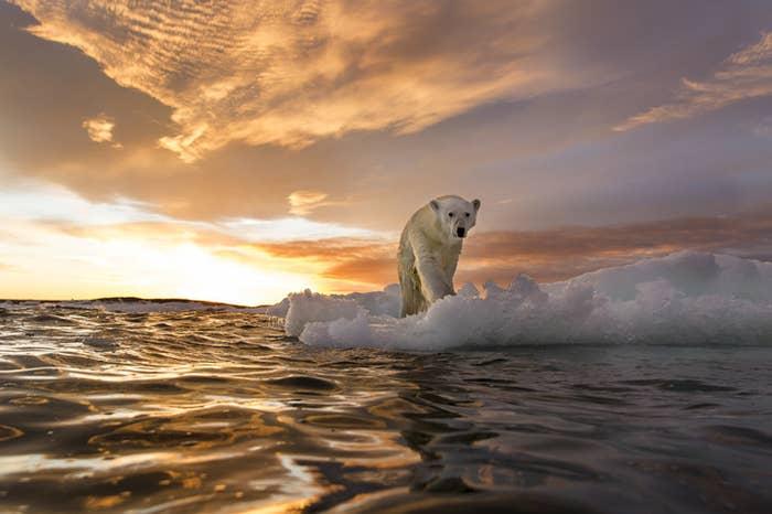 Canada, Nunavut Territory, Repulse Bay, Polar Bear stands on melting sea ice at sunset near Harbour Islands