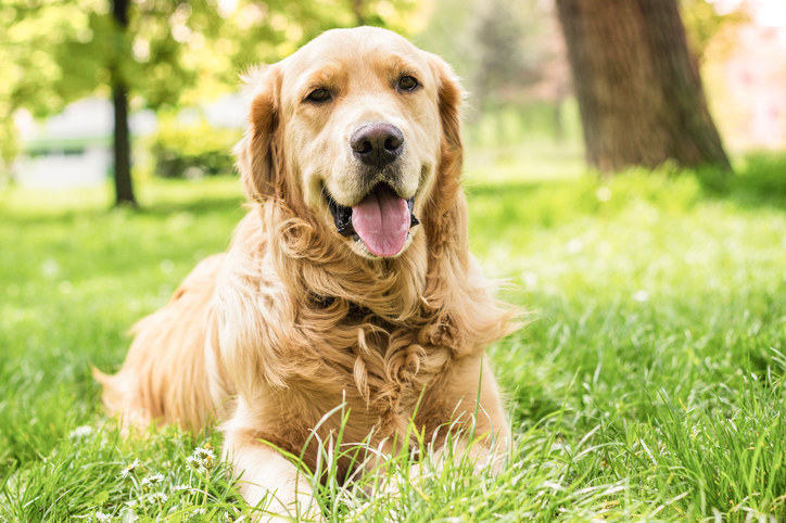 Golden retriever looking happy on the grass