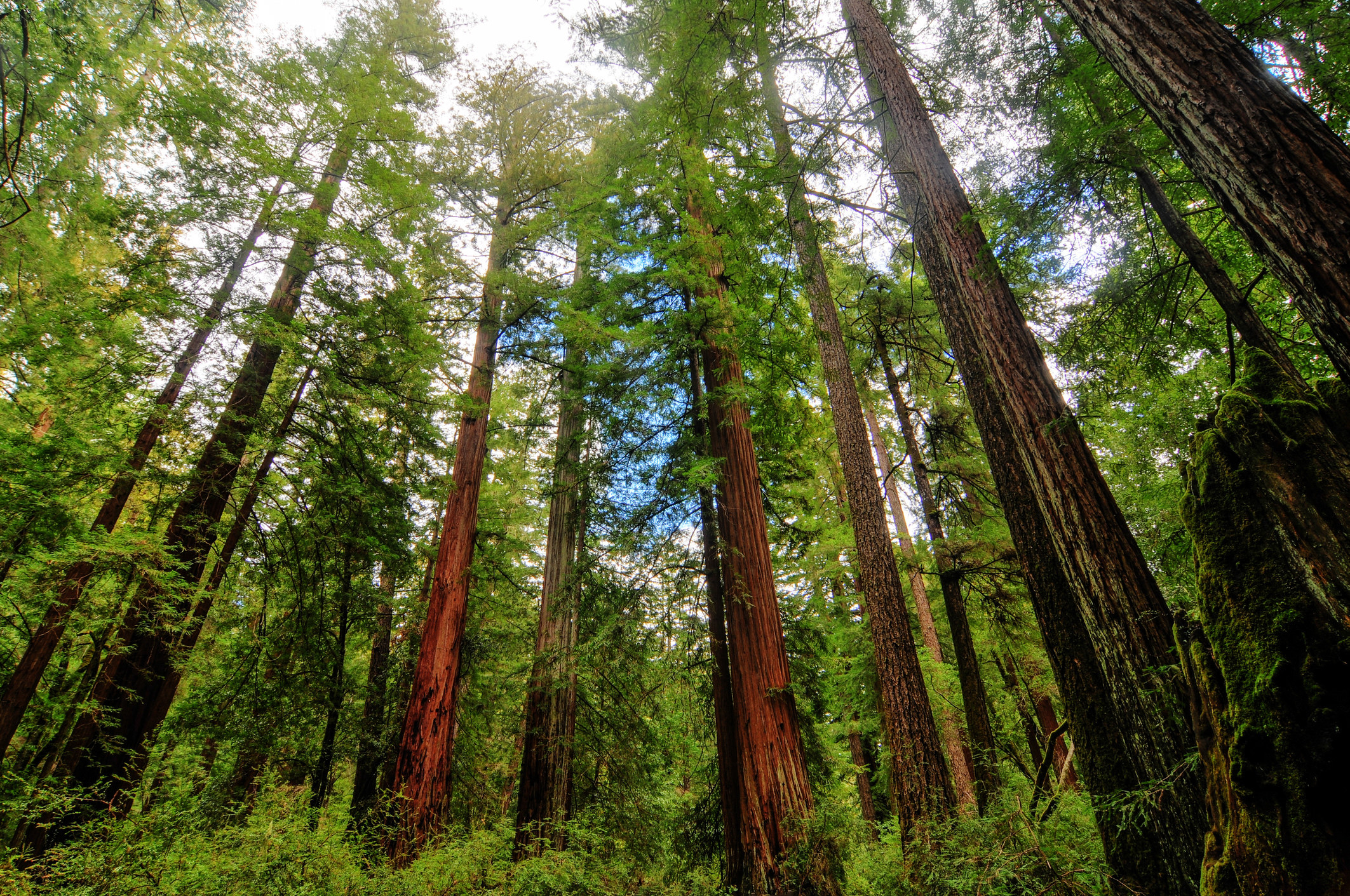 Sequoia Trees in Big Basin Redwoods State Park.