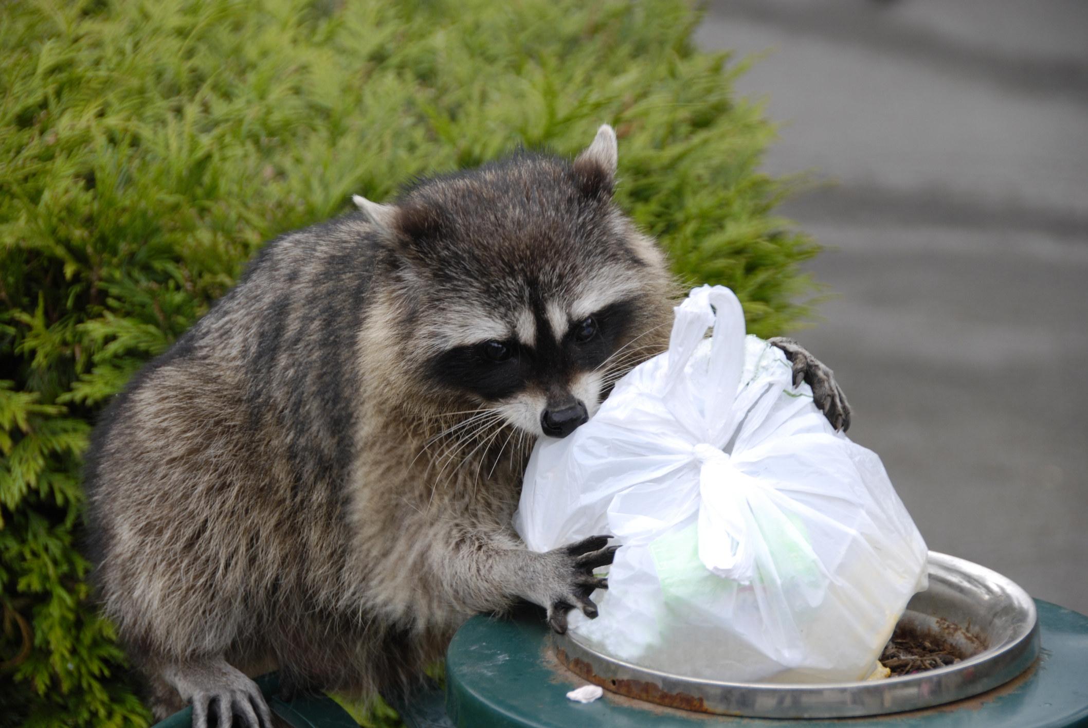 A racoon going through trash.