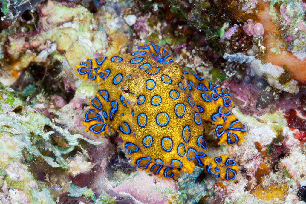 A blue-ringed octopus in the water