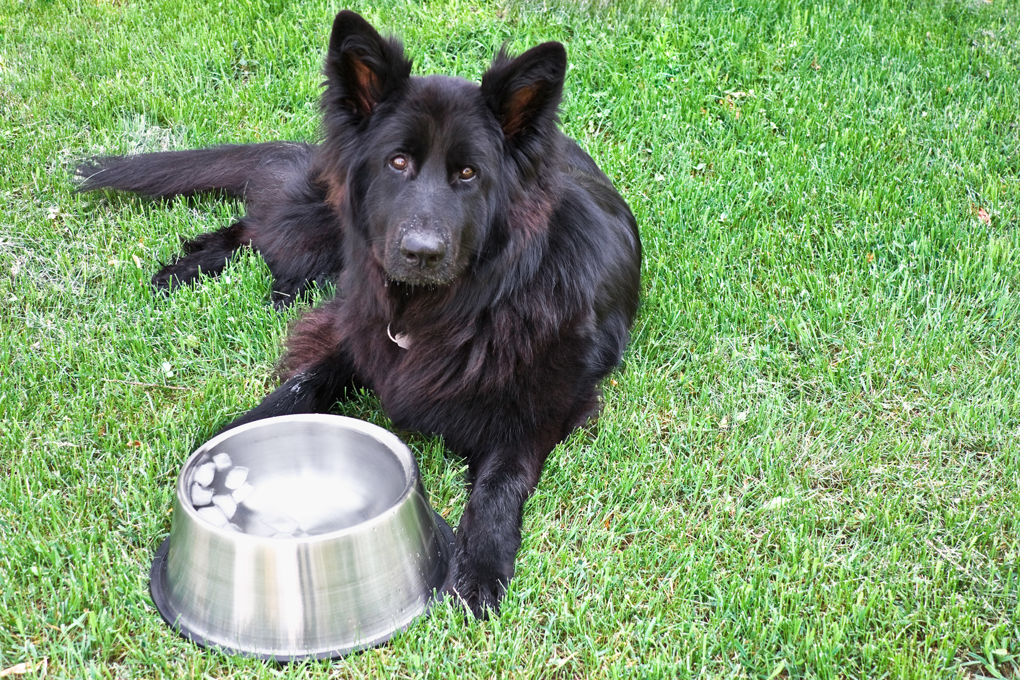 A dish full of fresh, cold water with partially melted ice cubes in front of a purebred long-haired German shepherd dog.