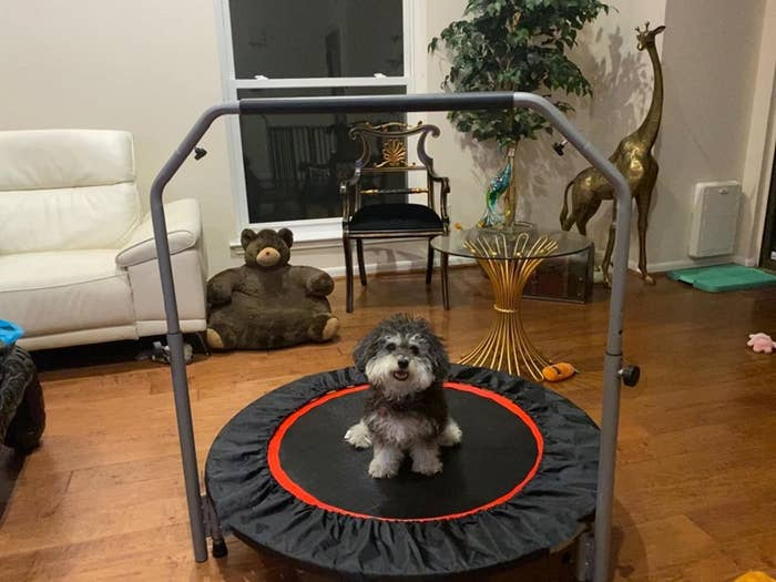 Reviewer's dog on mini trampoline