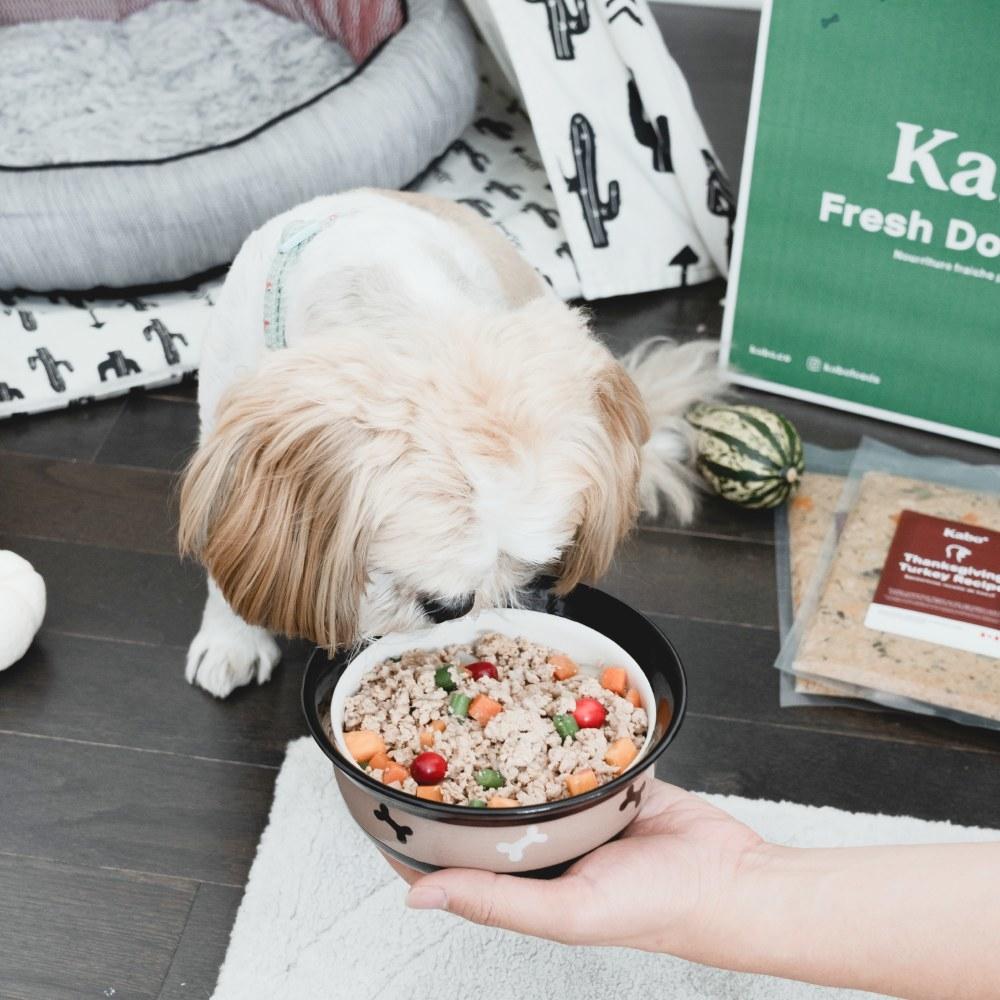 Small dog eating a bowl of Kabo Hearty Turkey.