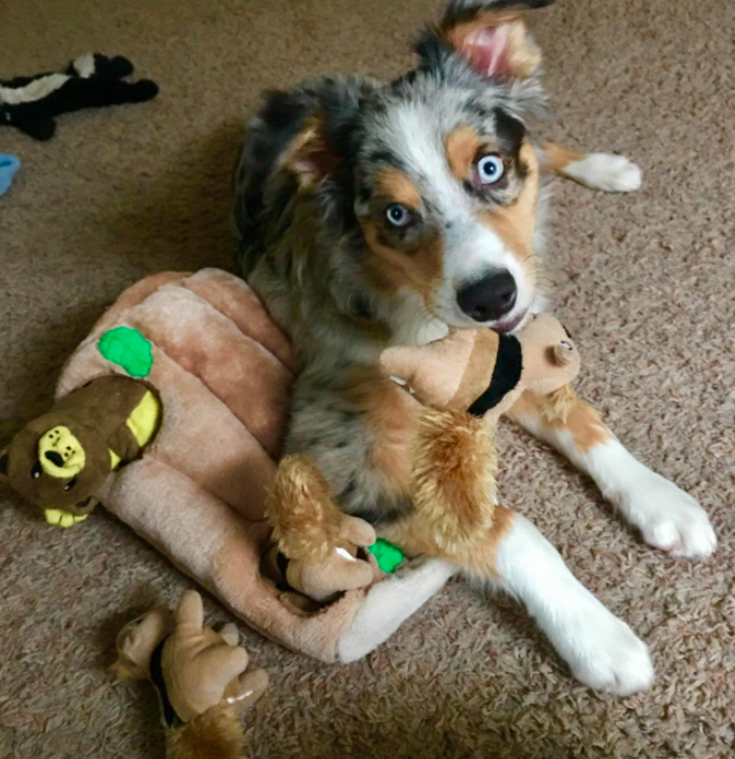 A customer review photo of their dog playing with the toy