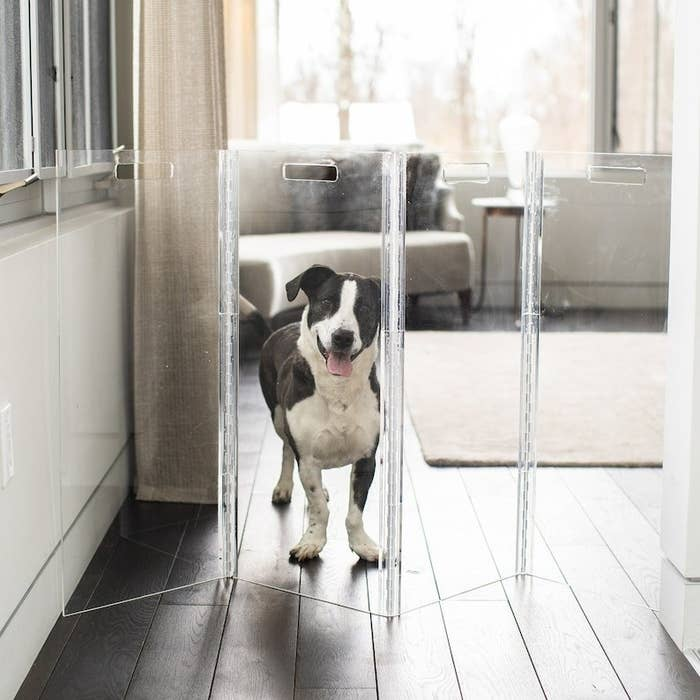 a dog standing behind the clear four-panel gate
