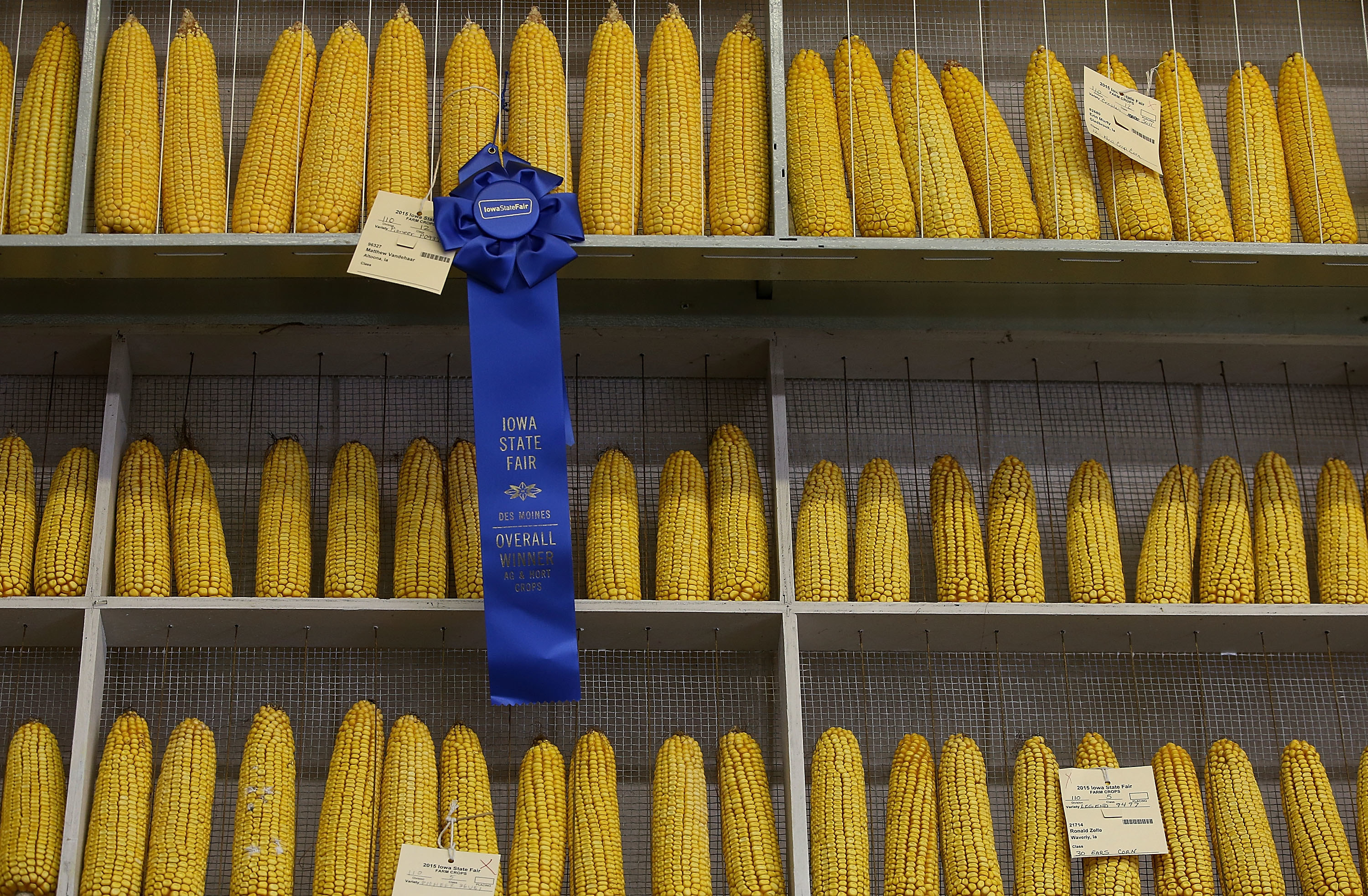 Rows of corn are seen behind a blue ribbon award at the Iowa State Fair